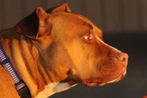 Pit Bulls: Reclaiming America's Dog